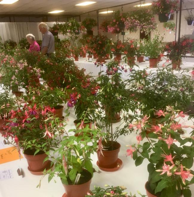 Record numbers at Dovercourt Fuchsia Society show
