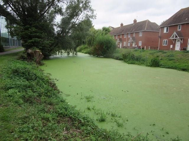 Action - the green weeds on the River Colne in Colchester and (inset) Simon Crow