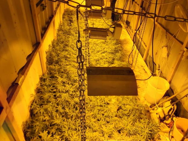 The cannabis plants discovered in a Colchester shed