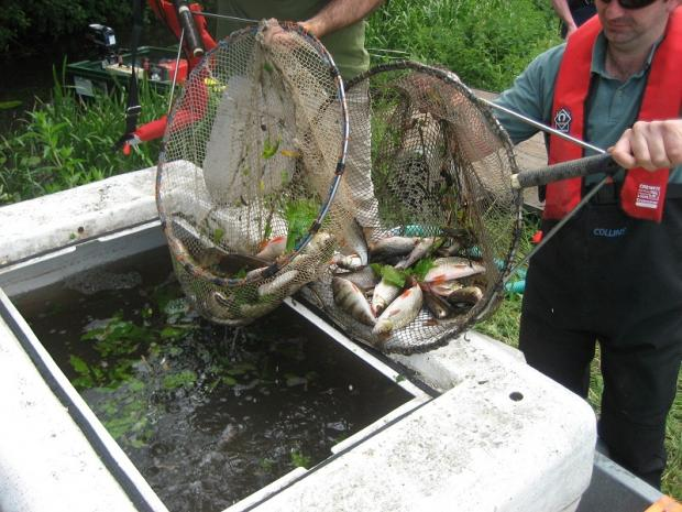 Environment Agency staff have rescued 3,000 fish from the River Colne