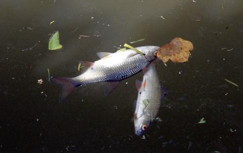 Dead fish in the River Colne at Halstead
