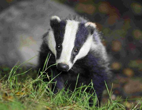 Badgers are protected under law