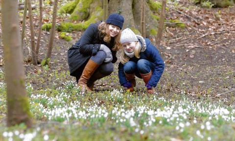 Halstead: First chance to see spring snowdrops