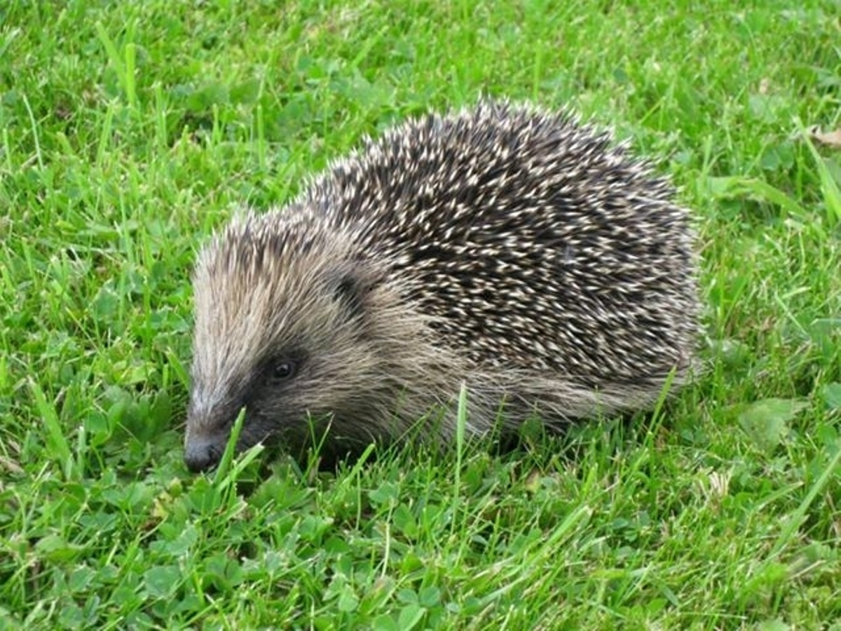 Hedgehog Society needs your help