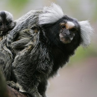 Marmosets and other monkeys are no longer fed bananas at the zoo