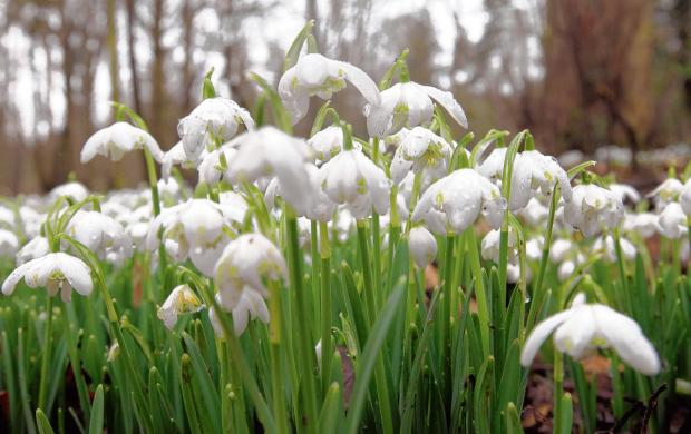 Marks Hall and Arboretum to open for snowdrop weekends