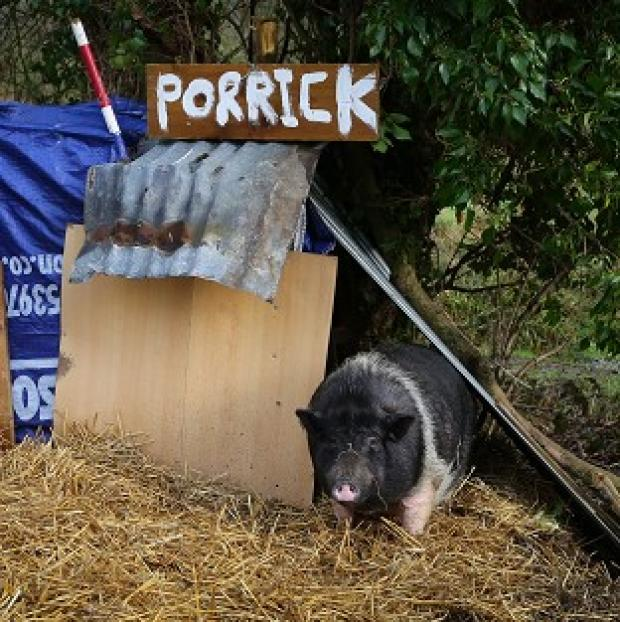 Halstead Gazette: Porrick the pig grazes on land in Folkestone, Kent, as local people continue to care for her