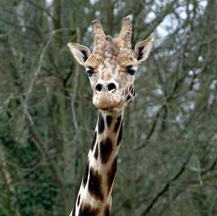 Halstead Gazette: Concerns about inbreeding among the giraffe population was behind the decision at Copenhagen Zoo
