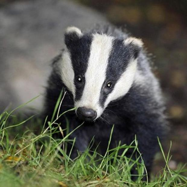 Halstead Gazette: Pilot badger culls in Somerset and Gloucestershire caused suffering to the animals, an expert panel has found