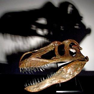 The skull of a Torvosaurus gurneyi. The fossilised remains of what scientists believe is the largest land dinosaur ever to have roamed Europe have been found in Portugal (PA/Public Library Of Science ONE)