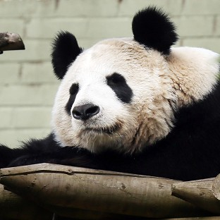 Zoo 'confident' of panda pregnancy