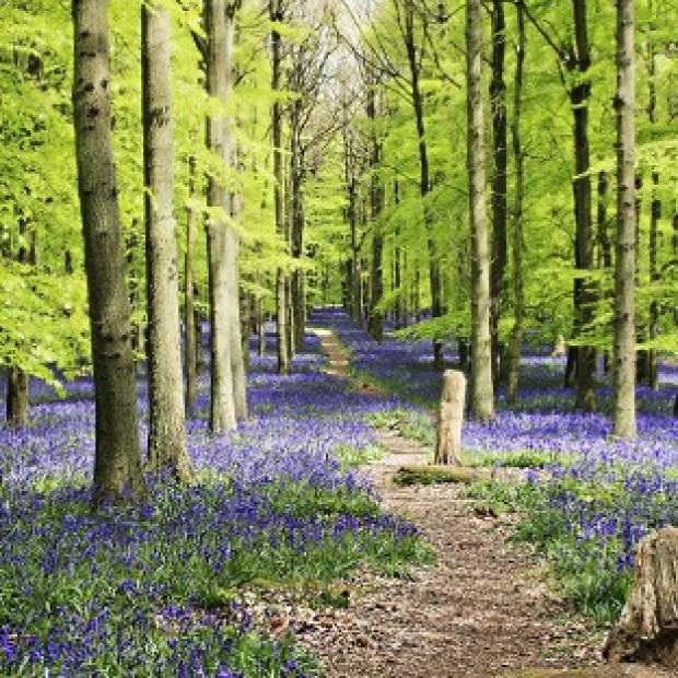 Halstead Gazette: The Woodland Trust said warmer weather has led to bluebells flowering earlier than last year