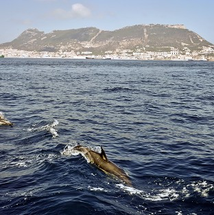 A pod of dolphins is reported to have protected a British swimmer undertaking the Oceans Seven challenge
