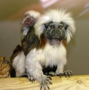 All but one of the five monkeys stolen from Blackpool Zoo have been found and returned, the zoo has said (Lancashire Police/PA)