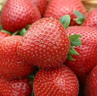 Weather conditions should ensure a bumper crop of strawberries this year.