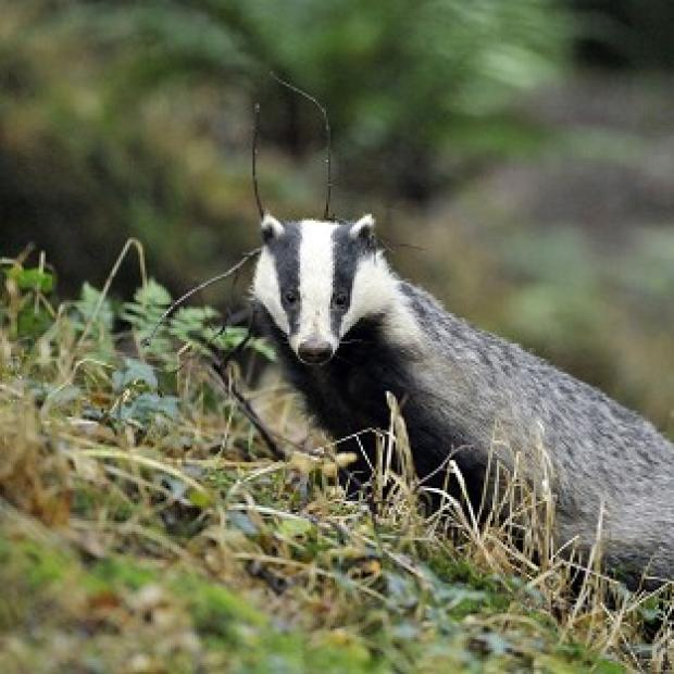 Halstead Gazette: Campaigners have renewed criticism of the badger cull following the release of new statistics.