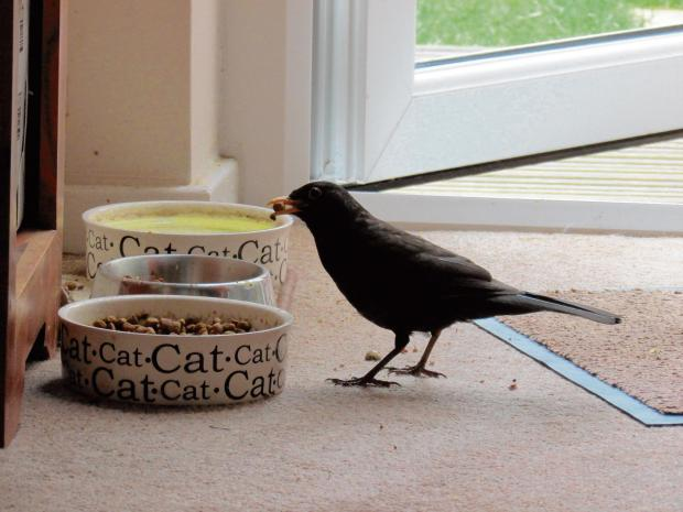 Cheeky blackbird turns cat burglar as it pinches grub