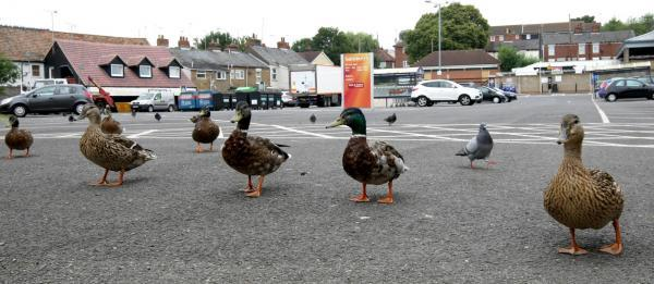 The ducks in Sainsbury's car park in Halstead