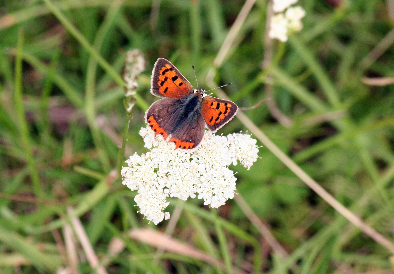 Essex Wildlife Trust- Butterfly ID & Recording