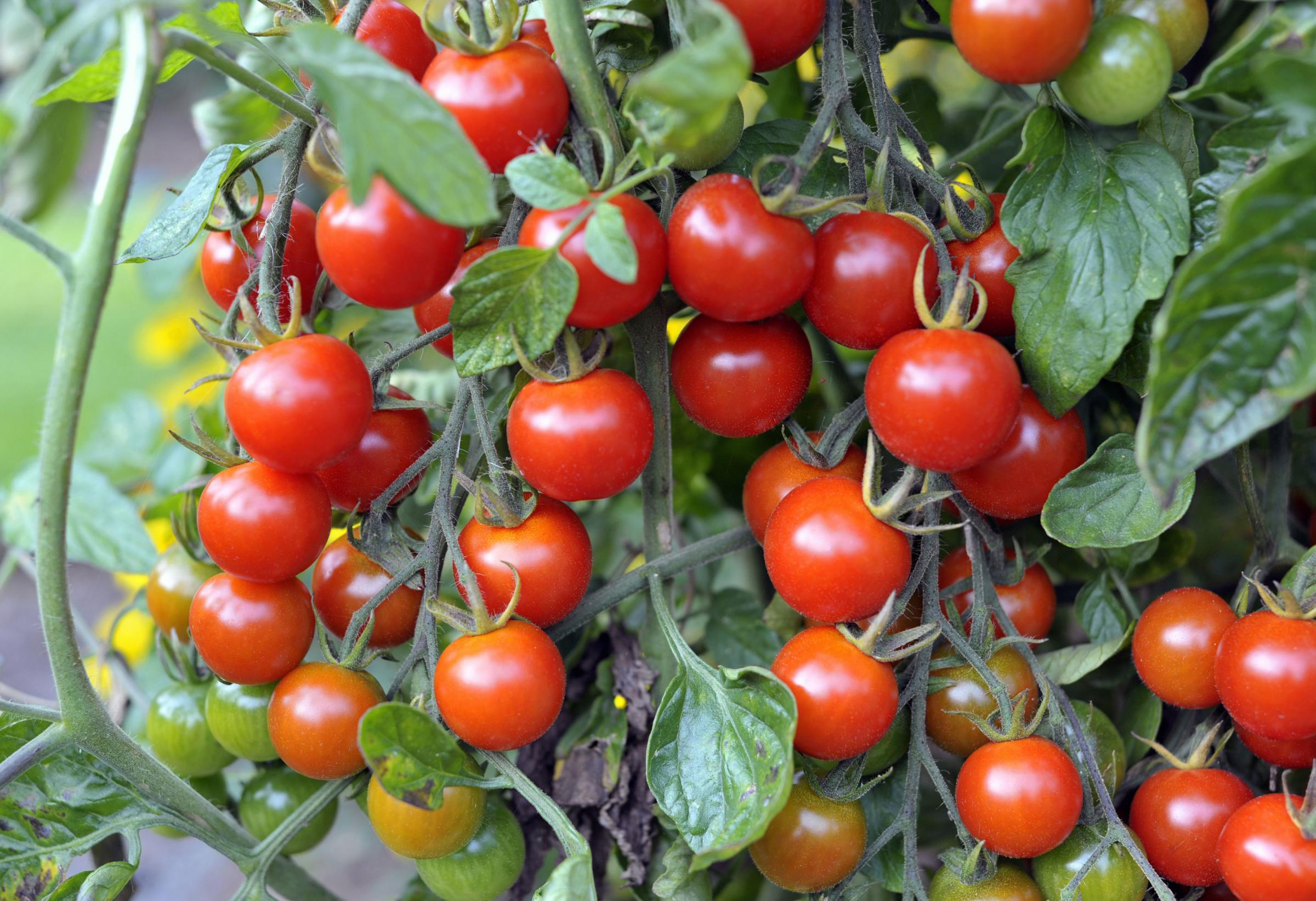 Undated Handout Photo of trusses of tomatoes. See PA Feature GARDENING Advice Tomato. Picture credit should read: iStock/PA. WARNING: This picture must only be used to accompany PA Feature GARDENING Advice Tomato.